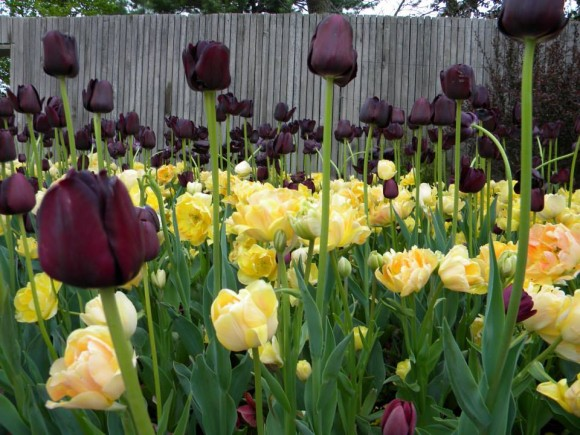 Tulipa 'Queen of the Night' and Tulipa 'Orange Angelique'.