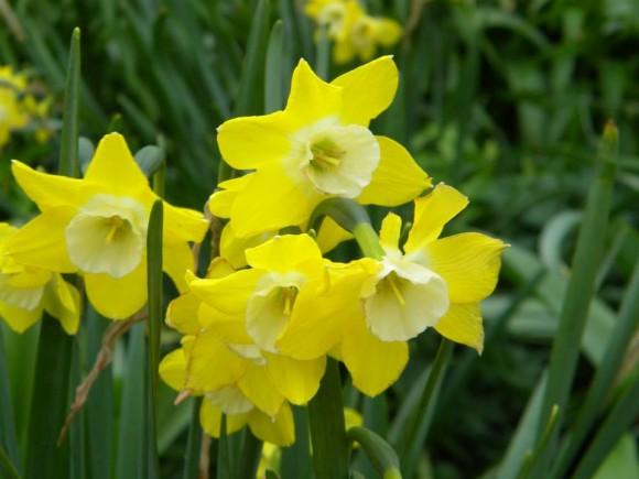 Narcissus 'Dickcissel'.