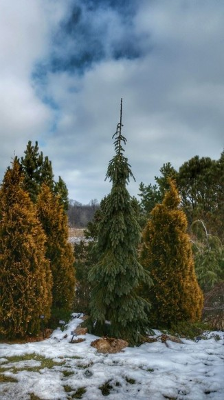 PHOTO: The soft blue of this Picea glauca 'Pendula' brings out the glowing yellow tones of Thuja occidentalis 'Yellow Ribbons'.