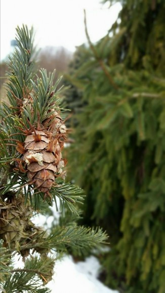 PHOTO: Douglas Fir have cones with interesting wings at the tip of each scale, such as those seen on this dwarf selection, Pseudotsuga menziesii 'Fletcheri'.