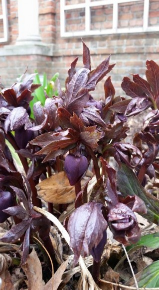 PHOTO: New spring growth on Helleborus x hybridus 'Blue Metallic Lady'.