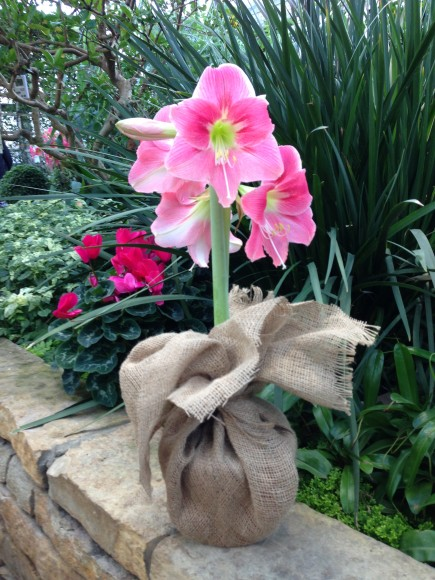 PHOTO: A blooming amaryllis wrapped in burlap is ready to gift.