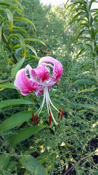 Lilium speciosum 'Uchida'.