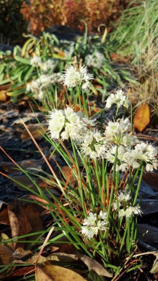 PHOTO: White fall onions in bloom.