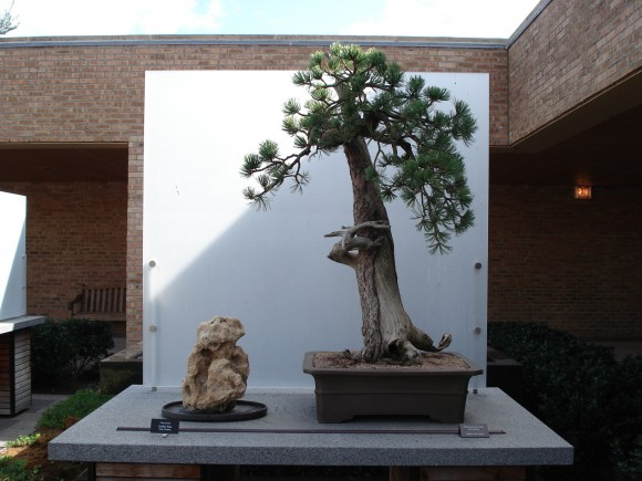 PHOTO: The Garden's Pinus flexilis, or Limber Pine, estimated at 800 years of age.