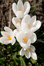 Spring's Earliest Blooming Flowers