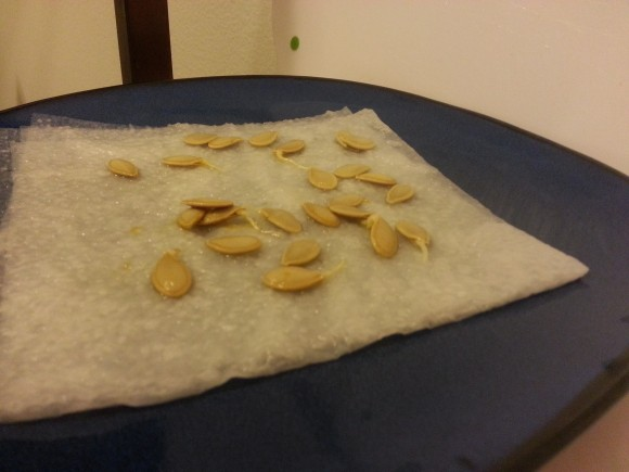 PHOTO: Pumpkin seeds sprouting on a dampened paper towel.