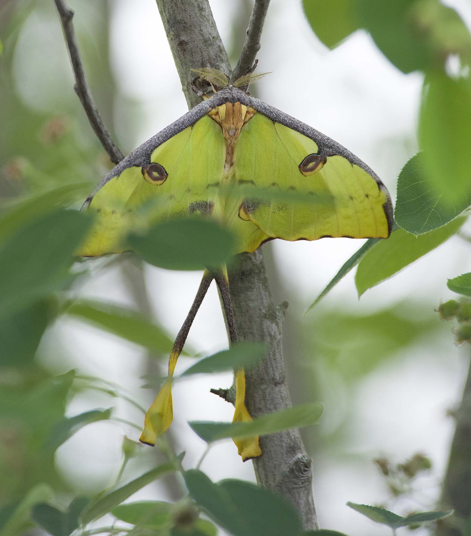 The Artfully Disguised Moon Moth