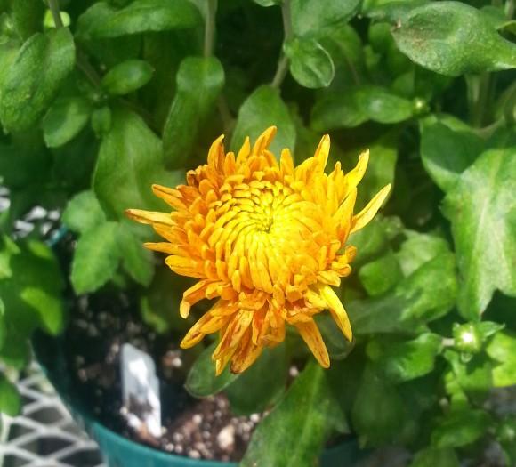 A mum cultivar.