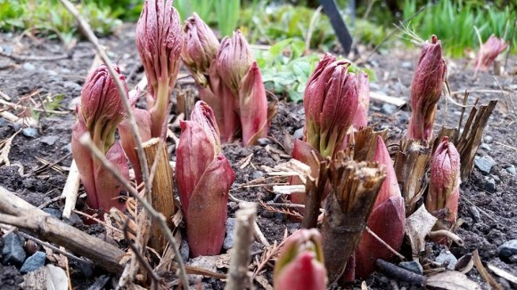 PHOTO: Red Charm Peony buds push out of the ground.