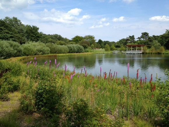 PHOTO: View across the lake of the Cove; swamp loosestrife is in bloom.