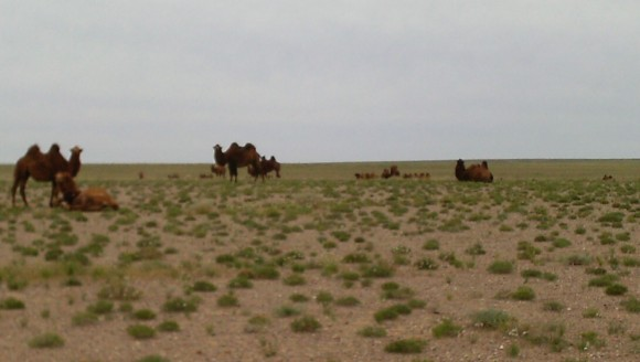 PHOTO: A herd of bactrian camel rest on the steppe.