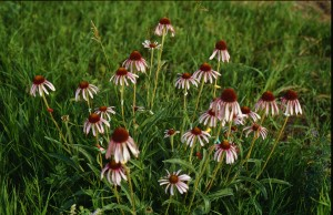 Despite having been scraped by a snowplow the prior year, this roadside Echinacea angustifolia plant bore the most heads seen during a long-term study.