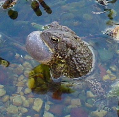 Toad Serenade at the Cove