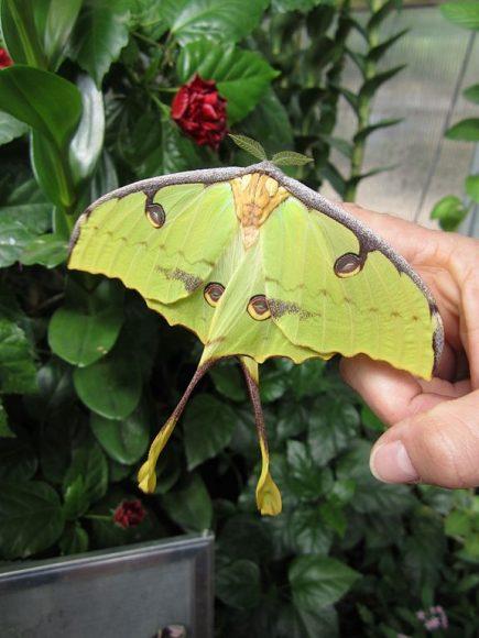 PHOTO: African moon moth.