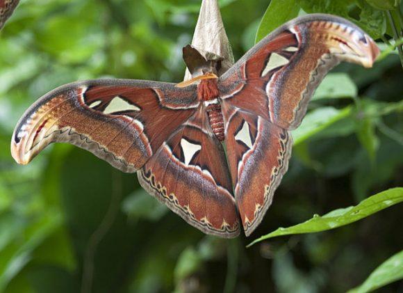 PHOTO: Atlas moth.
