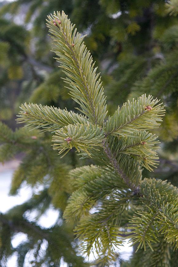 PHOTO: Siberian fir tree (Abies sibirica).