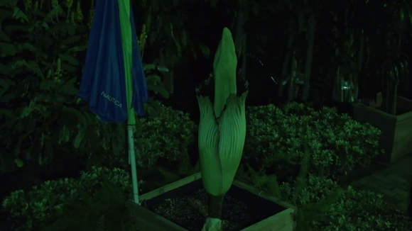 Alice the Amorphophallus began blooming late at night on September 28, 2015.