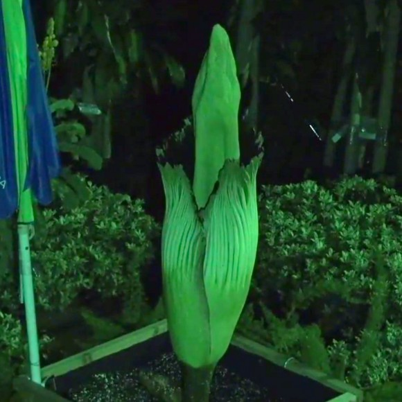 Alice's spathe opened late at night.