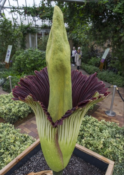 Alice the Amorphophallus in full bloom, around 8 a.m. on September 29, 2015.