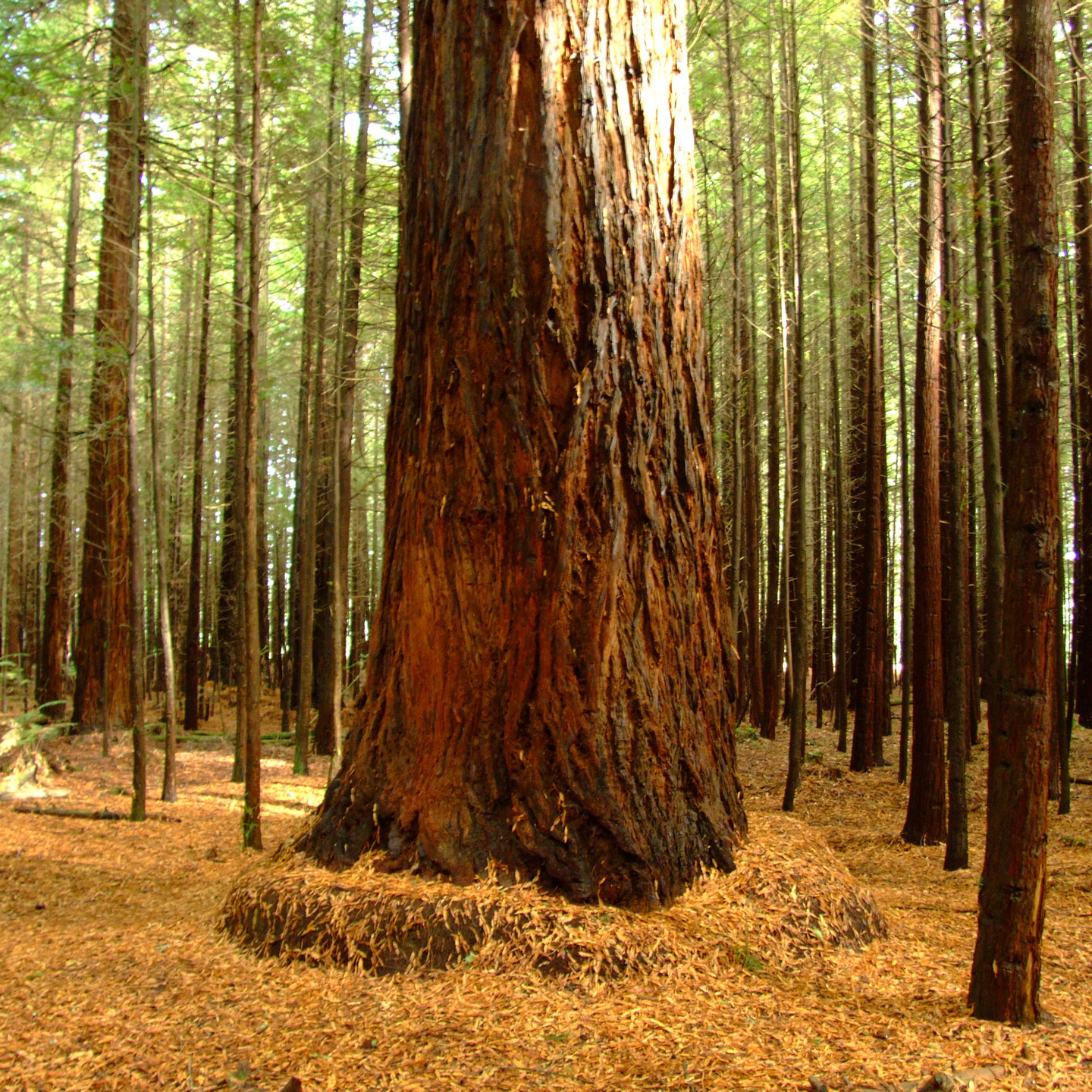 PHOTO: Redwood forest.