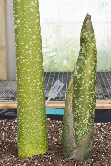 An Amorphophallus titanum shoot to the right of a leaf stalk provides comparison for determining the slight bulge which could mean a flower bud.