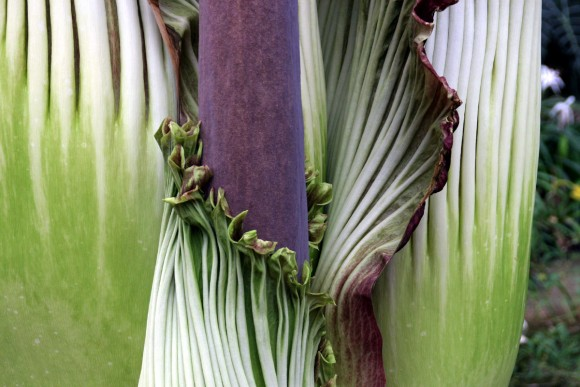 PHOTO: The spathe of the Amorphophallus titanum unwraps from the spadix at bloom time.