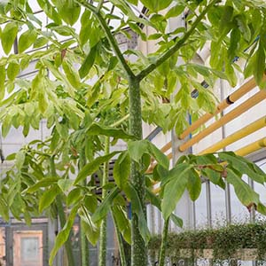 Amorphophallus titanum leaves in the Production Greenhouses