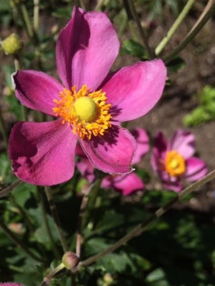 Anemone x hybrida 'Pretty Lady Susan'