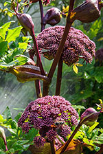 Angelica (Angelica gigas)