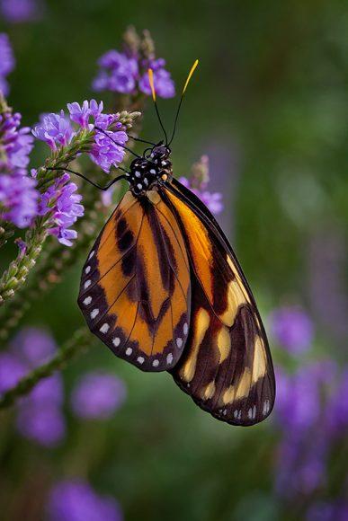Large tiger butterfly (Lycorea cleobaea)