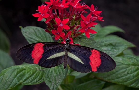 Postman butterfly (Heliconius erato)