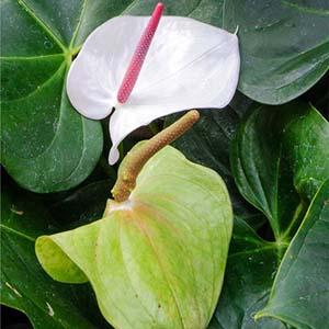 Anthurium andraeanum 'White Heart'