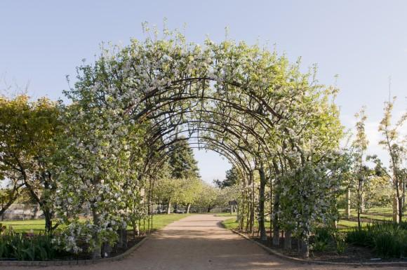 PHOTO: The apple arbor in bloom, April 2012.