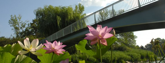 PHOTO: Lotus frame the ends of the Arch Bridge in midsummer.