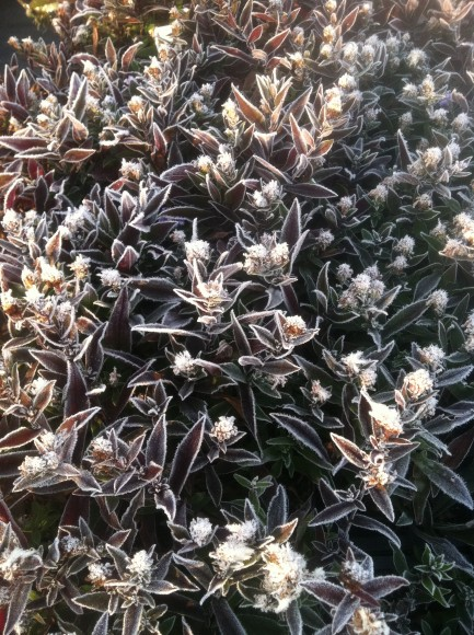 Symphyotrichum lateriflorum 'Lady in Black' with frost.