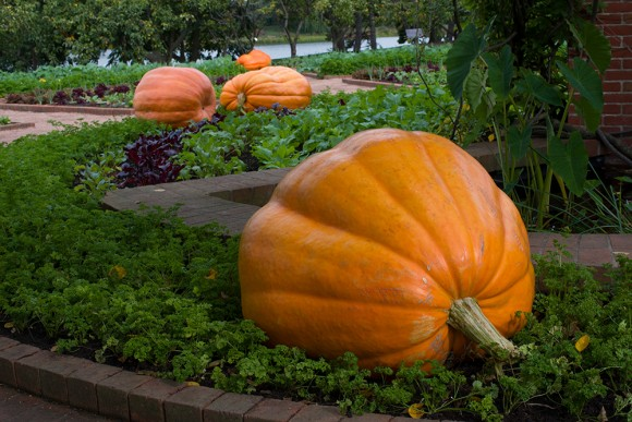 PHOTO: Atlantic Giant pumpkins.