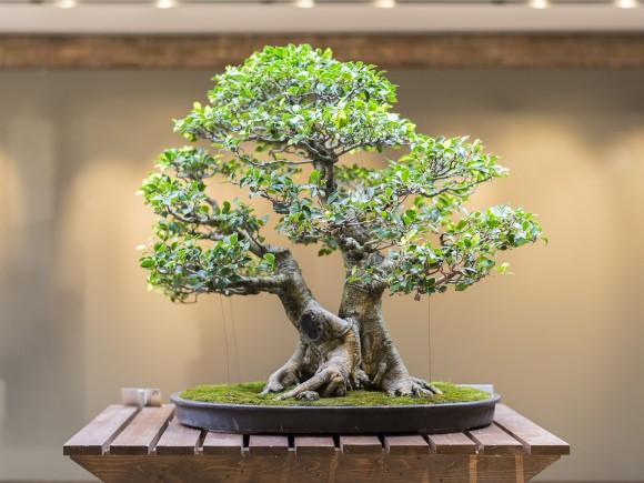 PHOTO: Back of bonsai ficus tree.