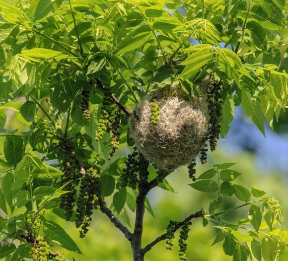 PHOTO: Baltimore oriole nest.