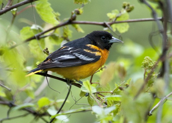 PHOTO: A male Baltimore oriole sits amid the grapevines.