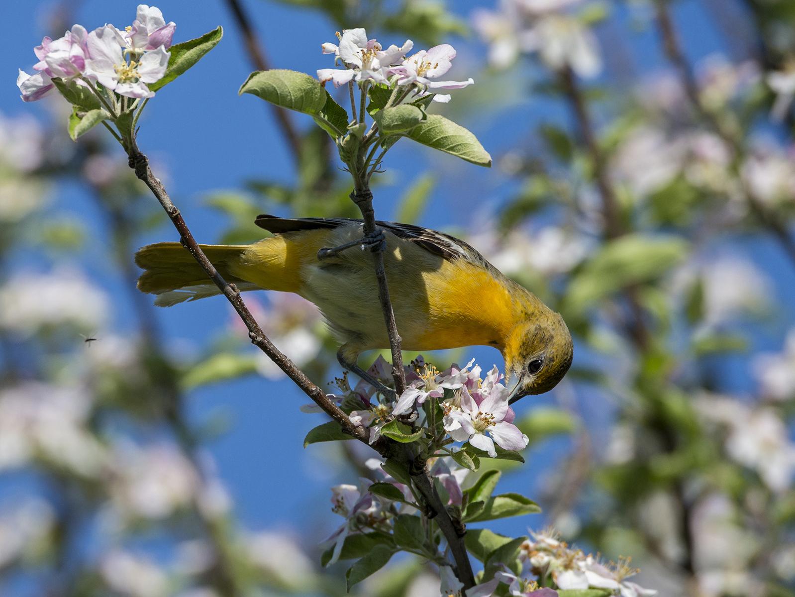 Baltimore Oriole: Suburban Garden Songster