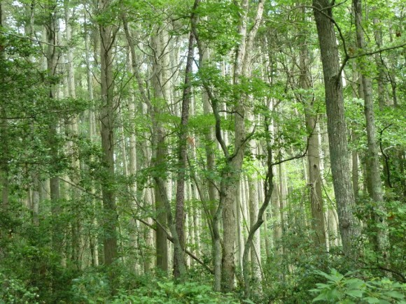 Sweet bay magnolia trees in a New Jersey state forest