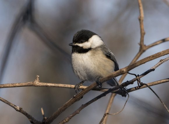 Black-capped chickadee (Poecile atricapillus). Photo © Carol Freeman.
