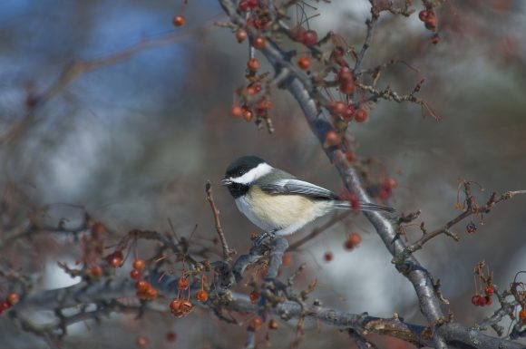 PHOTO: A chickadee enjoys a plentiful and tasty treat in early February: berries.