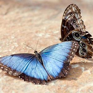 Blue Morpho (Morpho peleides)