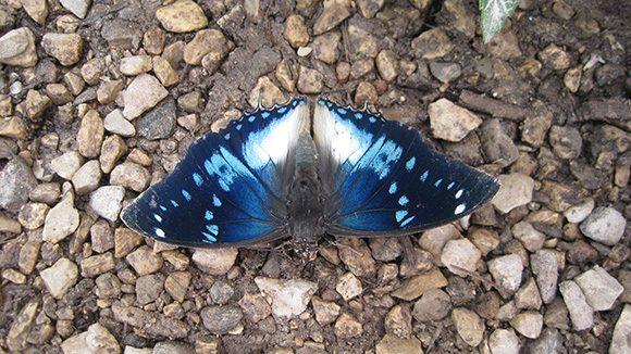 Blue-spotted Charaxes (Charaxes cithaeron)