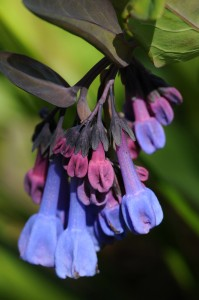 PHOTO: Virginia bluebells