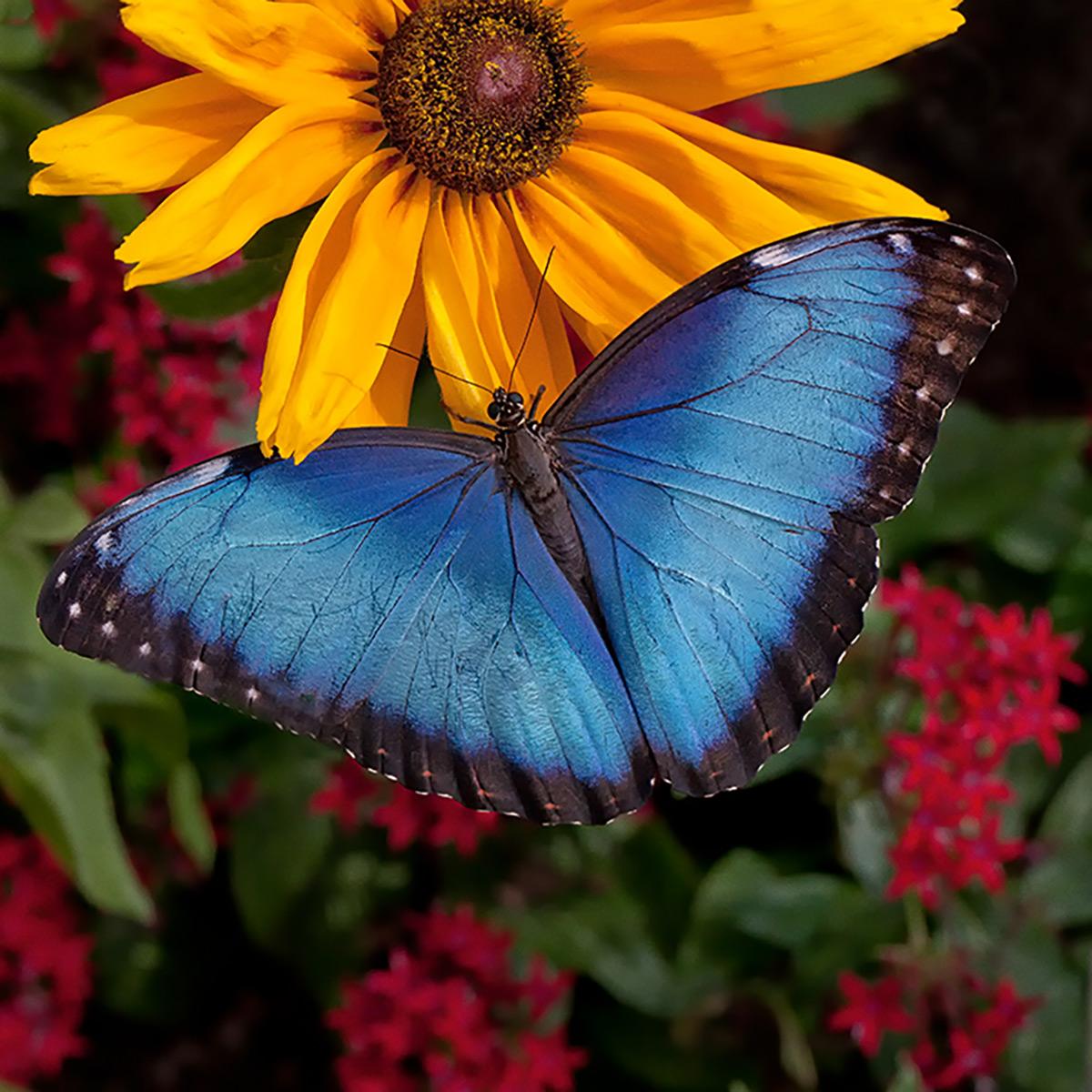 Brazilian Butterflies at the Chicago Botanic Garden