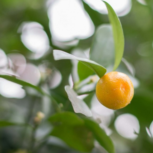 Calamondin orange (x Citrofortunella microcarpa).