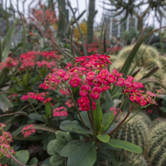 Crown-of-thorns (Euphorbia milii).